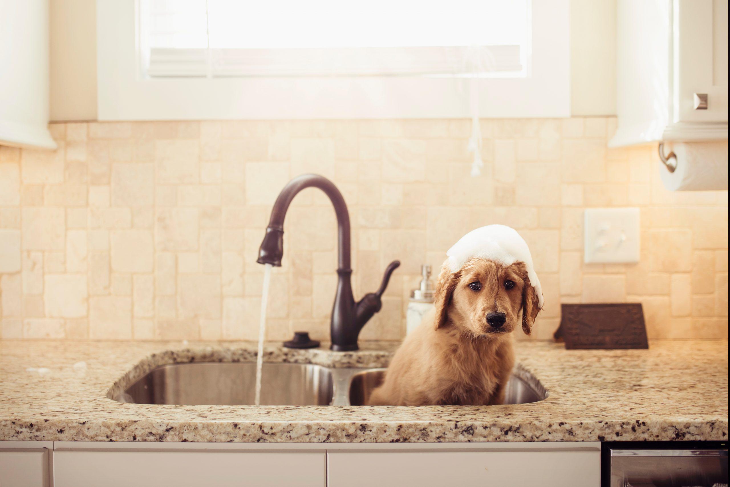 DIY goldendoodle spa