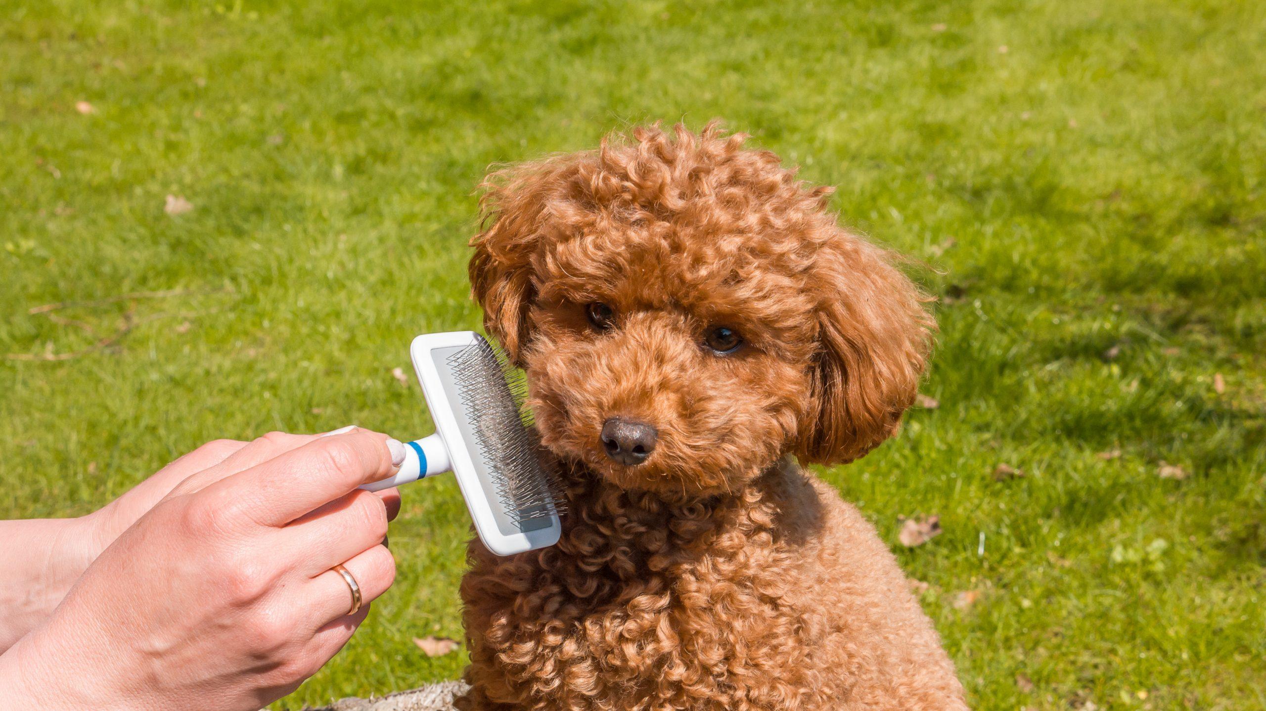 brushing goldendoodle